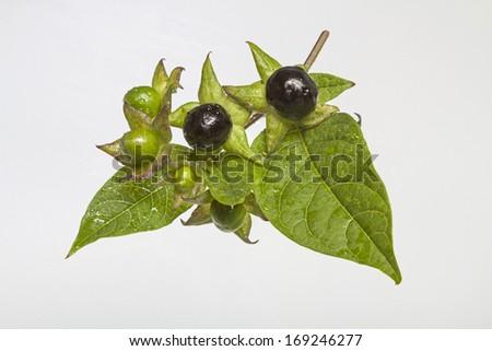 atropa belladonna , - stock photo