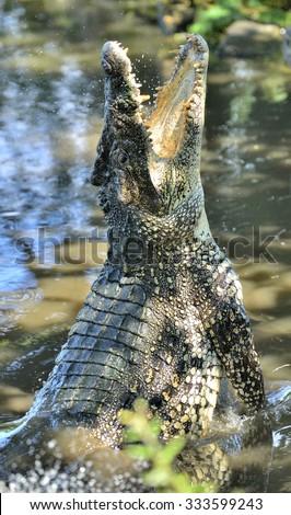 Attack crocodile. Cuban Crocodile (crocodylus rhombifer). The Cuban crocodile jumps out of the water. Cuba. - stock photo
