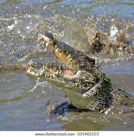 Attack crocodile. Cuban Crocodile (crocodylus rhombifer). The Cuban crocodile jumps out of the water. Cuba - stock photo