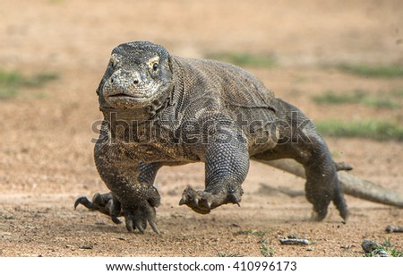 Attack of a Komodo dragon (Varanus komodoensis) running on sand. It is the biggest living lizard in the world, Indonesia. Island Rinca - stock photo