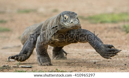 Attack of a Komodo dragon (Varanus komodoensis) running on the sand.  It is the biggest living lizard in the world, Indonesia.Island Rinca. - stock photo