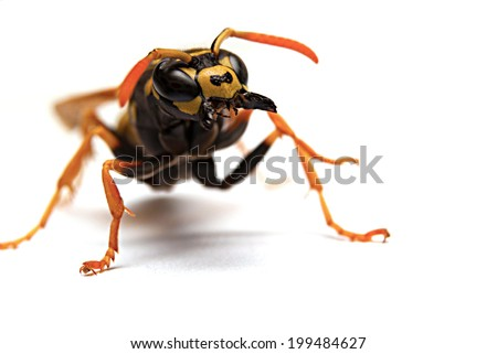 Attack single wasp with open mandibles on white background - stock photo