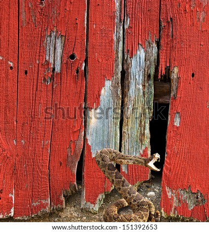 attacking rattle snake by old red barn - stock photo
