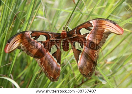 Attacus atlas biggest butterfly in the worlg, Laos - stock photo