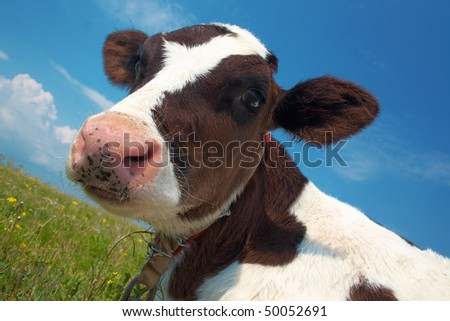 Attentive black and white cow in a field - stock photo