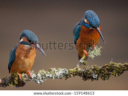 Attentive Kingfishers - stock photo