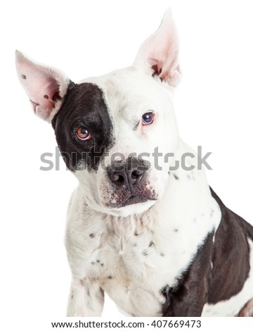 Attentive large Pit Bull dog looking straight into camera - stock photo