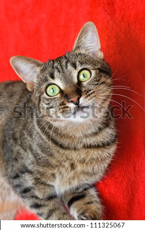 attentive look of a cat on red background - stock photo