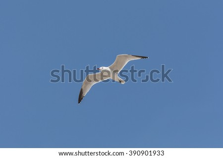 Audouin?s Gull in flight. It is an endangered gull restricted to the Mediterranean and the western coast of Saharan Africa. Photo taken in Santa Pola, Alicante, Spain. - stock photo