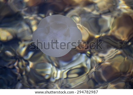 Aurelia aurita, Moon jellyfish floats on the surface of the sea water. Selective focus and shallow dof. - stock photo