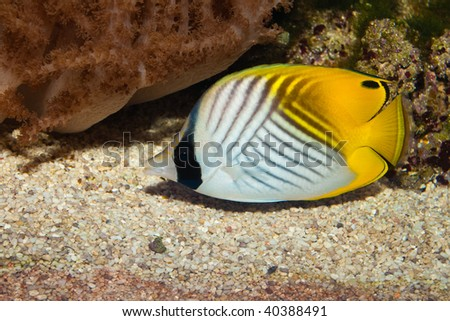 Auriga Butterflyfish (Chaetodon auriga) - stock photo