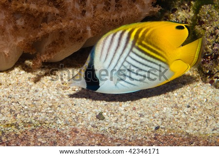 Auriga Butterflyfish in Aqaurium - stock photo