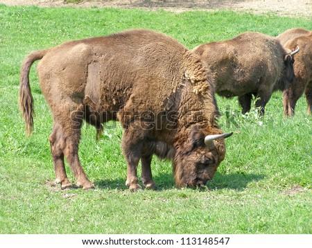 Aurochs (european bison) family in the captivity - stock photo