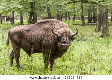 Aurochs in Bialowieski National Park - Poland. - stock photo