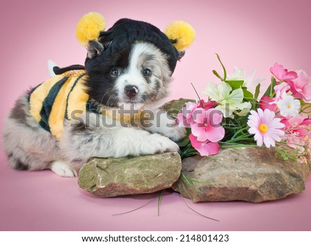 Aussie puppy dressed up in a bee outfit on a pink background. - stock photo