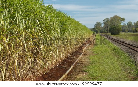 Australian agriculture sugar industry sugarcane crop close-up ready to harvest - stock photo