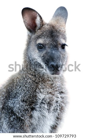 Australian Animal - young Kangaroo portrait isolated on white background - stock photo
