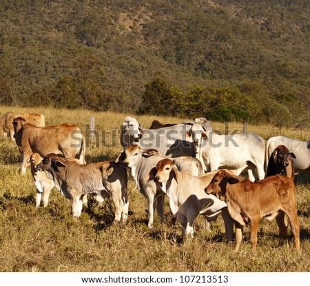 Australian beef cattle Brahman heifers and cows - stock photo