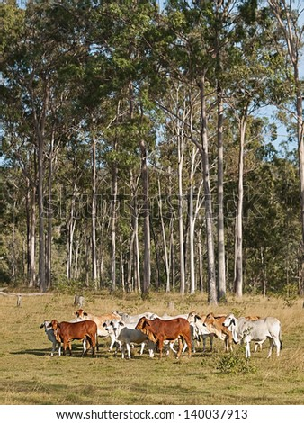 Australian beef cattle herd of cows on ranch with tall eucalyptus gum tree forest background - stock photo