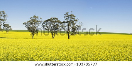 Australian Canola Fields - stock photo