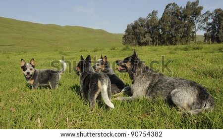 australian cattle dog family; karte dinkum ozzy and tallawong snowbelle with pups. kazulu natal, south africa - stock photo