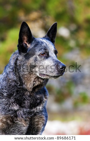 australian cattle dog portrait - stock photo