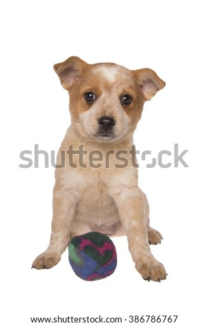 Australian cattle dog pup with ball ready to play isolated on white - stock photo