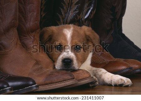 Australian Cattle Dog Puppy Lying next to Cowboy Boots - stock photo