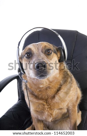 Australian Cattle Dog sitting in office chair wearing headset like operator or tech support person isolated on white background - stock photo