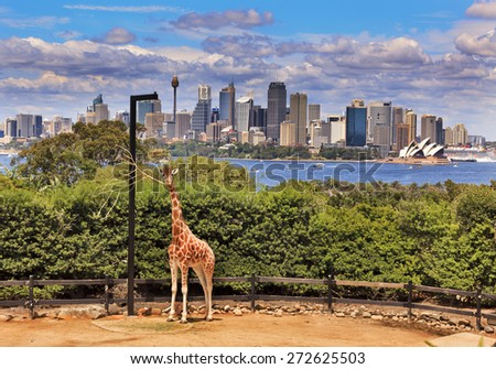 Australian cityscape of CBD across Harbour from green park with single giraffe in foreground - stock photo