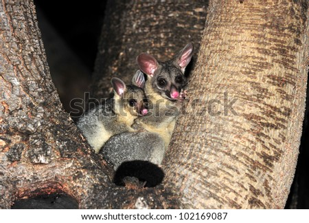 Australian common ring tailed possum with baby, Townsville, North Queensland, Australia - stock photo