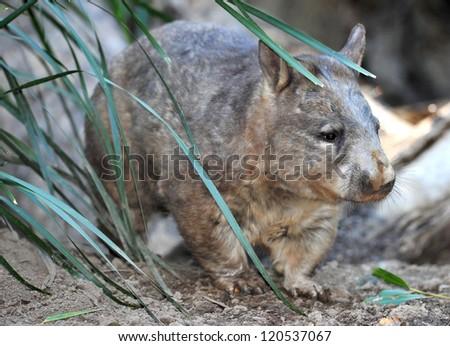 australian common wombat , queensland, australia - stock photo