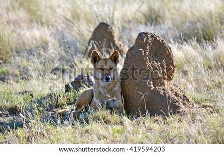 Australian Dingo resting next to a termite mound - stock photo
