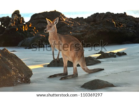 australian eastern grey kangaroo on beach, cape hillsborough, mackay , north queensland. exotic mammal kangaroo similar wallaby on tropical sandy foreshore with copyspace - stock photo