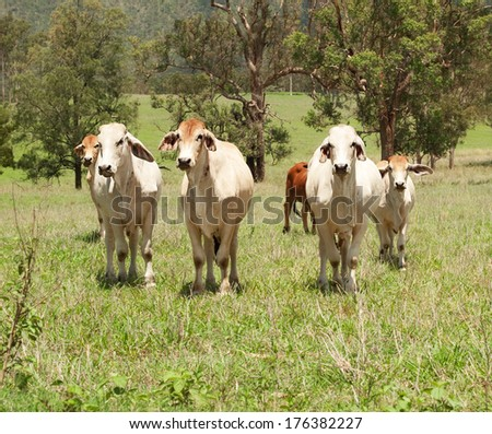 Australian farming, a herd of beef cattle cows on farmland in a green field for meat producing agriculture in Australia - stock photo