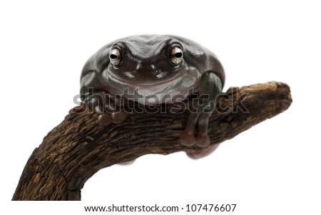 Australian Green Tree Frog, simply Green Tree Frog in Australia, White's Tree Frog, or Dumpy Tree Frog, Litoria caerulea, portrait against white background - stock photo