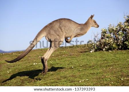 Australian grey kangaroo hopping against blue sky and ocean views - stock photo