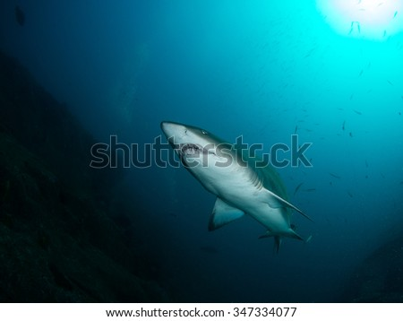 Australian Grey Nurse Shark, South West Rocks - stock photo