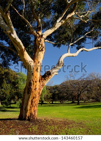 australian gum tree on a sunny winter day in melbourne - stock photo