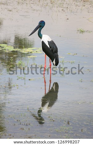 Australian jabiru bird by the Alligator River in Kakadu national - stock photo