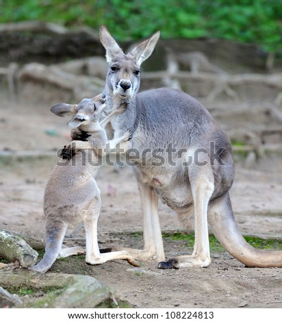 australian kangaroo affectionate embrace hugging with baby or joey, queensland, australia, exotic aussie mammal or marsupial with loving infant son or daughter in tropical setting - stock photo