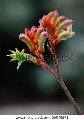 australian kangaroo paw flower in the bush - stock photo