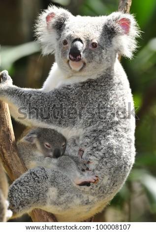 Australian Koala Bear in eucalyptus tree, Sydney, Australia grey bear - stock photo