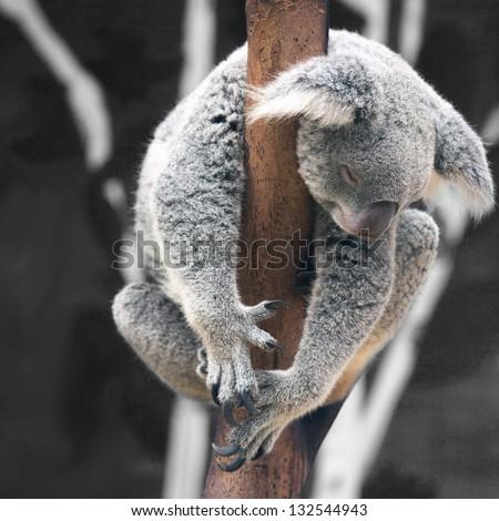Australian Koala Bear sleep on a tree trunk - stock photo