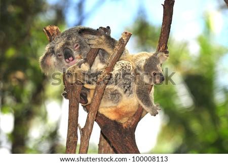 Australian Koala Bear with her baby, Sydney, Australia grey bear - stock photo