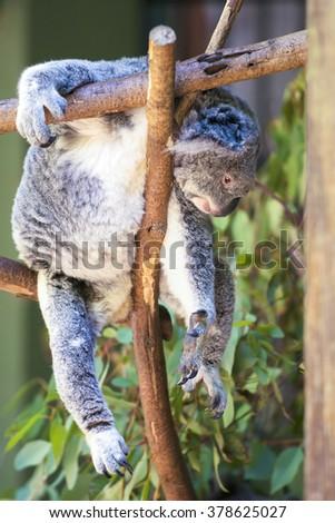Australian koala outdoors. Queensland, Australia - stock photo