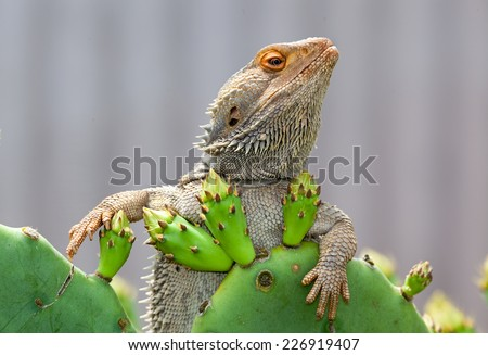 australian lizard just chilling sitting on a cactus - stock photo