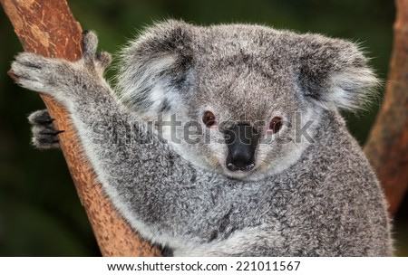 australian marsupial the koala. This one is awake which is seldom - stock photo