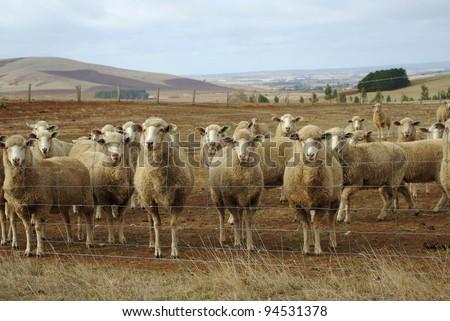 Australian merino sheep on rural sheep farm property looking - stock photo