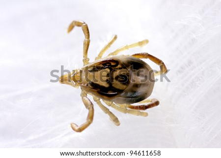 Australian paralysis tick (Ixodes Holocyclus), crawling on white parrot feather - stock photo